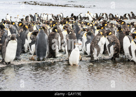 Colony of moulting King Penguins with a single Royal Penguin at Macquarie Island, Australian sub-Antarctic - Stock Photo