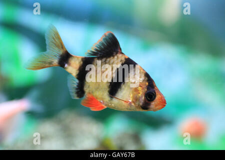 Puntius tetrazona. The tiger barb or Sumatra barb, is a species of tropical cyprinid fish. The natural geographic - Stock Photo
