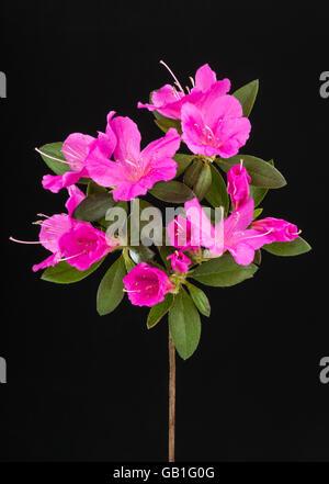 Close up of deep magenta pink azalea flower cluster on black background. - Stock Photo