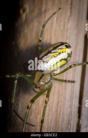 Yellow and green frightening orbweaver orchard spider in macro closeup - Stock Photo