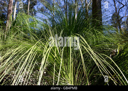 The forest grass tree (xanthorrhoea johnsonii), a spectacular caudiciform plant, is an Australian native grass - Stock Photo