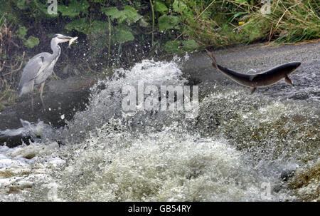 Salmon on the Ettrick - Stock Photo