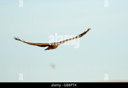 Northern harrier in flight, Summer Lake Wildlife Area, Oregon Outback Scenic Byway, Oregon - Stock Photo