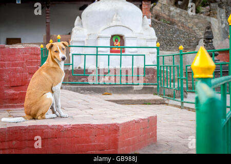 Domestic Brown Dog posing for photographs in the Temple of Kathmandu,Nepal. - Stock Photo