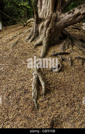 Yew tree roots rising out of the ground. - Stock Photo
