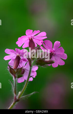Red campion flowers - Stock Photo