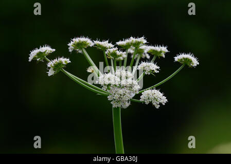 Parsley water dropwort - Stock Photo