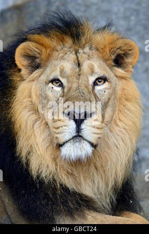 Indischer Loewe (Panthera leo persica), maennlich, captive, Asien - Stock Photo