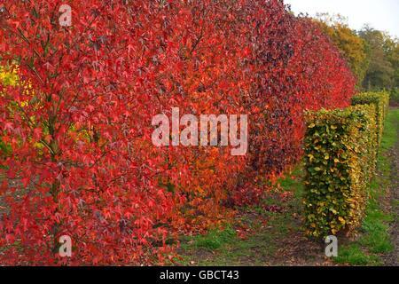 Amerikanischer Amberbaum (Liquidambar styraciflua) und Hecke aus Rotbuche (Fagus sylvatica) in Baumschule - Stock Photo