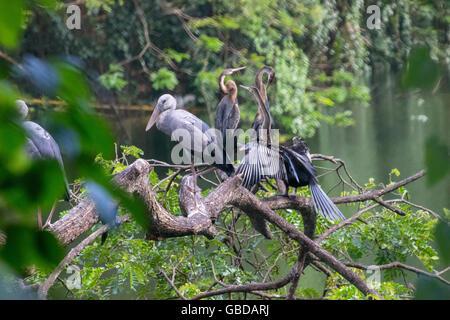 Oriental darter or Indian darter ( Anhinga melanogaster ) - Stock Photo