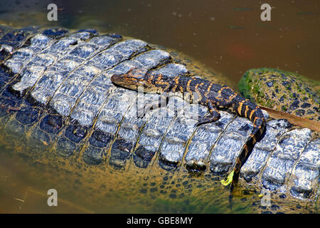 A baby alligator taking refuge on it's mother's back in the Everglades, Florida, USA - Stock Photo
