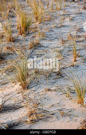 Marram grass, dunes, Egmond aan Zee, Egmond, North Holland, The Netherlands / Holland - Stock Photo