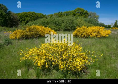 cytisus scoparius broom bush in flower wales uk stock. Black Bedroom Furniture Sets. Home Design Ideas