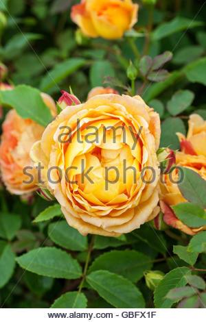 lady of shalott shrub rose stock photo royalty free image. Black Bedroom Furniture Sets. Home Design Ideas