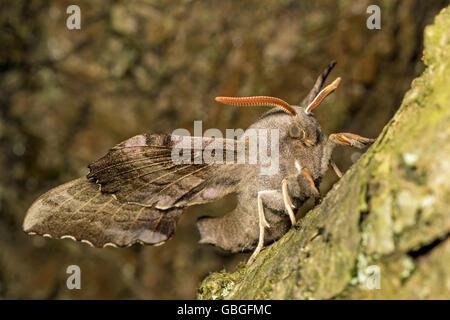 Adult Poplar Hawk-moth (Laothoe populi), Cambridgeshire - Stock Photo