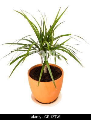 http://l450v.alamy.com/450v/gbh2tw/dracaena-marginata-a-potted-plant-isolated-on-white-background-gbh2tw.jpg Dracaena