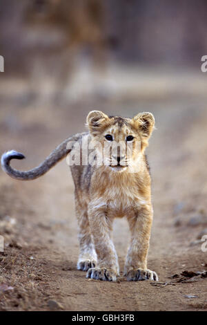 The image of Asiatic Lion Cub ( Panthera Leo ) as taken  in Gir National park, India - Stock Photo
