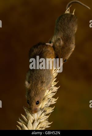 Harvest Mice on Wheat - Stock Photo