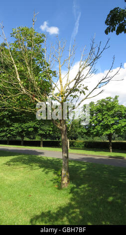 HORSE CHESTNUT (Aesculus hippocastanum) showing advanced effects of Bleeding Canker. Photo Tony Gale - Stock Photo
