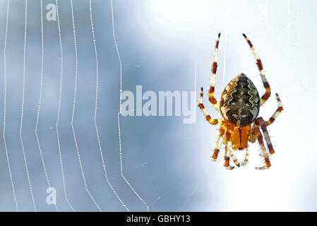 European garden spider Araneus diadematus on its web - Stock Photo