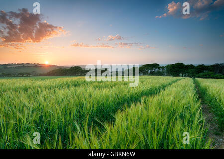 Beuatiful sunset over a field of lush barley growing in Cornwall - Stock Photo