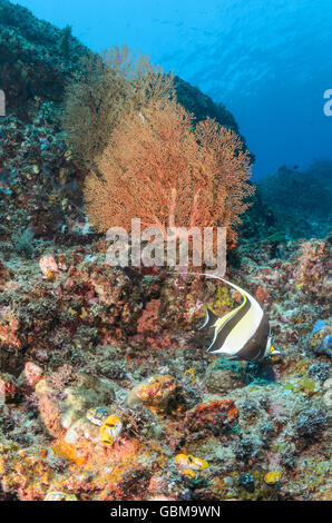 coral reef scene with Moorish idols, Zanclus cornutus, Ambon, Maluku, Indonesia, Pacific - Stock Photo