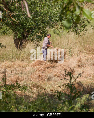 Spanish farmer hay making using traditional methods of turning the hay by hand with a pitch fork Potes northern - Stock Photo