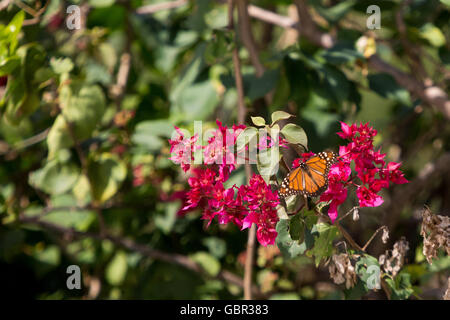 Asuncion, Paraguay. 7th July, 2016. A southern monarch (Danaus erippus) butterfly feeds nectar from a purple bougainvillea - Stock Photo