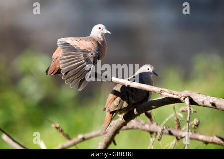 Asuncion, Paraguay. 7th July, 2016. A pair of Ruddy ground dove (Columbina talpacoti) sunbathes, one of them with - Stock Photo
