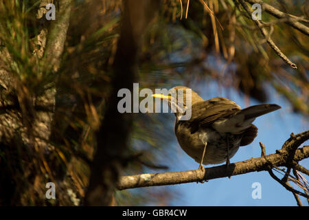Asuncion, Paraguay. 7th July, 2016. A creamy-bellied thrush (Turdus amaurochalinus) bird sunbathes while perched - Stock Photo