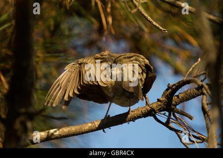 Asuncion, Paraguay. 7th July, 2016. A creamy-bellied thrush (Turdus amaurochalinus) bird preens itself, cleans its - Stock Photo