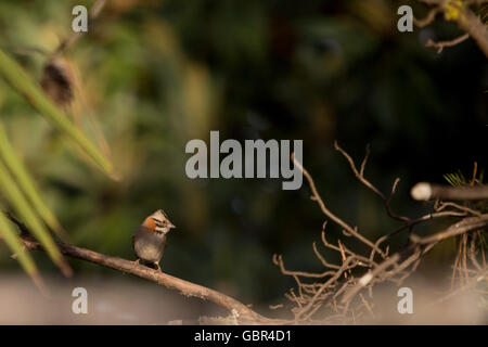 Asuncion, Paraguay. 7th July, 2016. A rufous-collared sparrow (Zonotrichia capensis) bird perches on pine tree branch, - Stock Photo