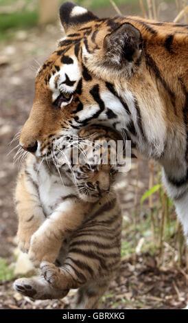 New Amur tiger cubs - Stock Photo