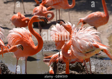 Group of Carribean flamingos (Phoenicopterus ruber) in arguing - Stock Photo