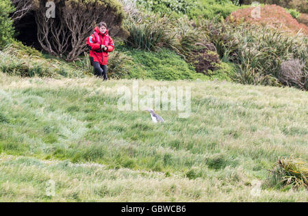 Young female expedition ship passenger observing a yellow eyed penguin, Enderby Island, Auckland Islands, New Zealand