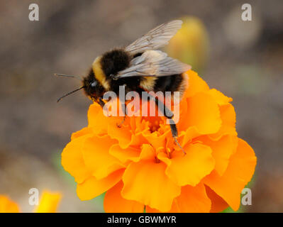 Bombus terrestris, the buff-tailed bumblebee or large earth bumblebee, is one of the most numerous bumblebee species - Stock Photo