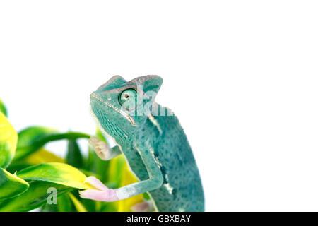 Young Veiled chameleon / Cone-head chameleon /  Yemen chameleon (Chamaeleo calyptratus) on a branch - Stock Photo