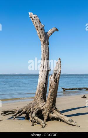 Dead tree, Driftwood beach, Jekyll Island, GA, USA - Stock Photo