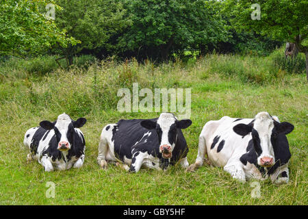 Three black-and-white dairy cows resting and ruminating on green pasture