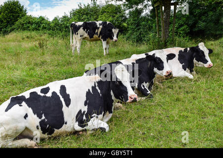 Three Holstein breed black-and-white dairy cows resting and ruminating on green pasture