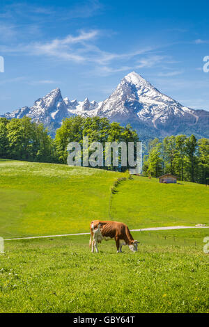Idyllic landscape in the Alps with cows grazing on fresh green mountain pastures with snowcapped mountain tops in - Stock Photo