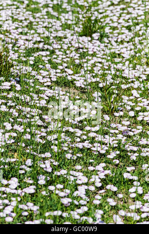 Field bindweed; Convolvulus arvensis;  morning glory family; Convolvulaceae; growing on central Colorado ranch; - Stock Photo