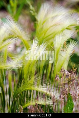 Wild grasses growing on central Colorado ranch; USA - Stock Photo