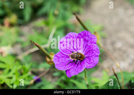 A bee on the flower of a bloody cranesbill (Geranium sanguineum) - Stock Photo