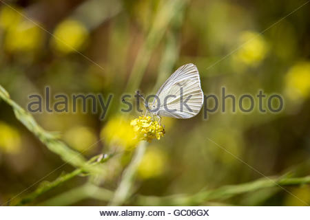 Cabbage White (Pieris rapae) feeding on nectar of mustard - Stock Photo