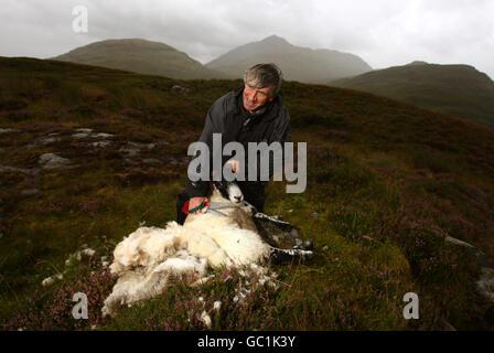 Mountain sheep shearing - Stock Photo