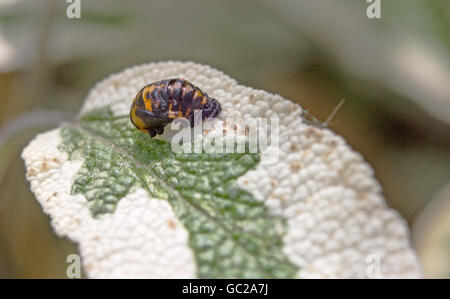 Ladybird Pupae - Harmonia axyridis - Coccinella septempunctata on a green and white leaf - Stock Photo
