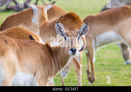 A herd of female red lechwe (Kobus leche leche) from Zambia, in the Yorkshire Wildlife Park - Stock Photo