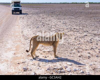 Young Lioness (Panthera leo) in front of tourist car, Okaukuejo, Etosha National Park, Namibia - Stock Photo