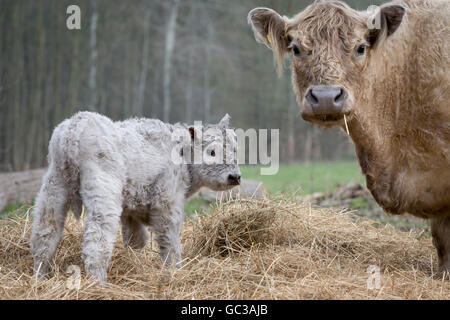 Galloway cattle (Bos primigenius taurus) with blond pigmentation, suckler with newborn calf, appropriate animal - Stock Photo